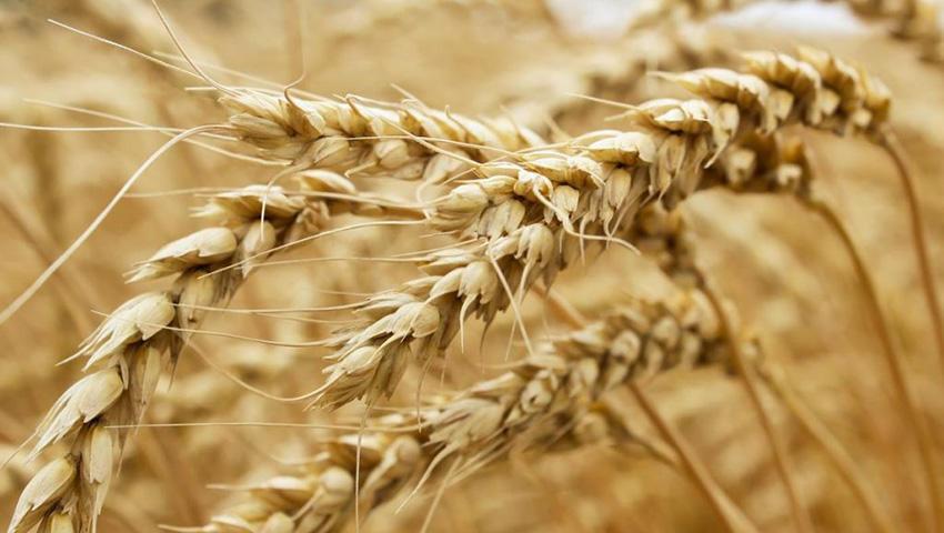 wheat436_27.jpg
