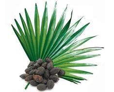 photo-of-saw-palmetto-plant447_882.jpg