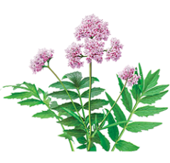 photo-of-valerian-plant.png