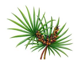 photo-of-saw-palmetto-plant750_933.jpg