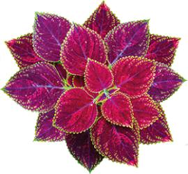 Photo of Forskolin Plant