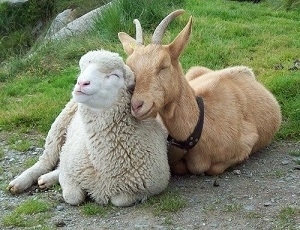 Photo of Goat and Sheep